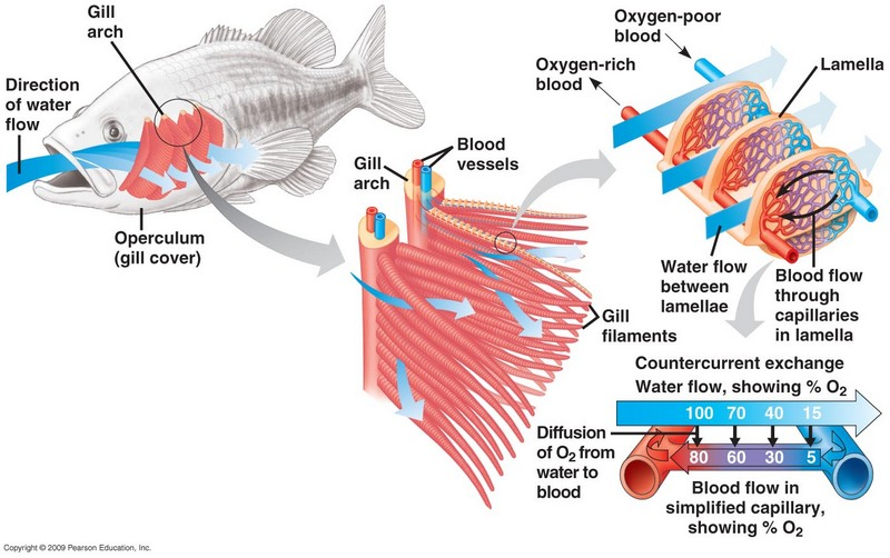 Anatomía externa de los peces